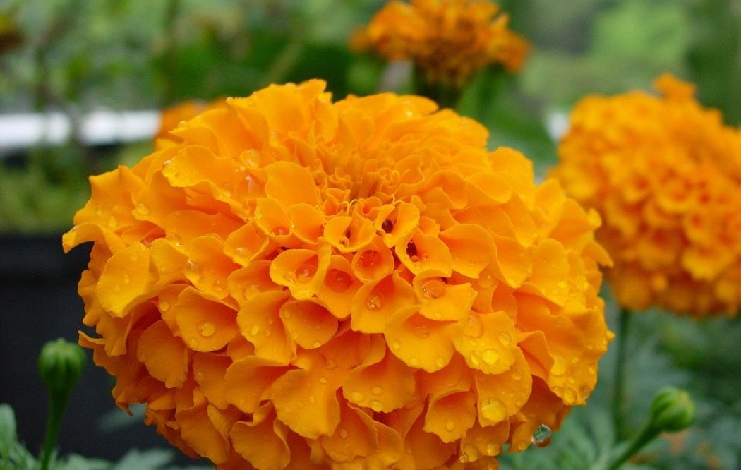 金盞花萃取葉黃素