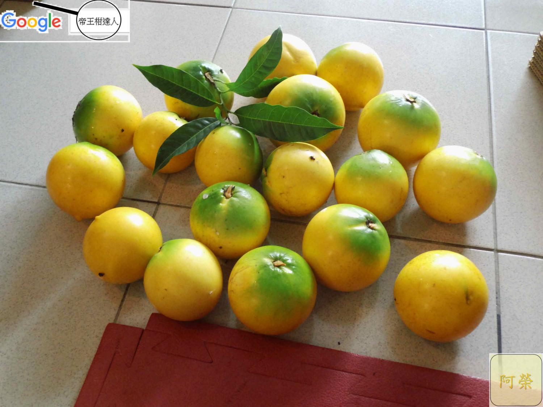 古坑黃金果7/31上市囉為期一個半月,每棵約6-8兩六棵每箱650元-好吃的台灣水果,下標請先確定是否有貨。
